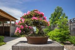 Pianta rosa dei bonsai dell'azalea (rododendro) Fotografia Stock Libera da Diritti