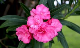 Pianta rosa del fiore dell'ibisco fotografie stock