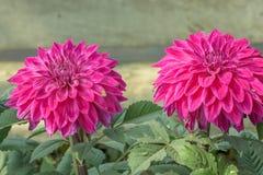 Pianta rosa del fiore di Guldavari, piante perenni erbacee È fioriture di amore di una pianta del sole in molla in anticipo alla  fotografia stock