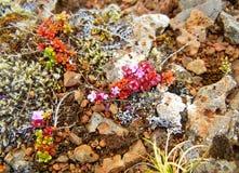Pianta rosa-fiorita minuscola che cresce sulle rocce fotografia stock libera da diritti