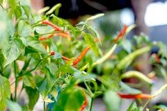Pianta rossa dei peperoncini rossi fotografie stock libere da diritti