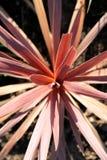 Pianta rossa del Cordyline Fotografia Stock