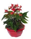 Pianta rossa del fiore di Lentini dell'anturio sul vaso da fiori Immagini Stock