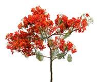Pianta rossa del fiore isolata Fotografie Stock Libere da Diritti