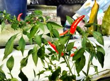 Pianta rossa del peperoncino rosso Immagine Stock