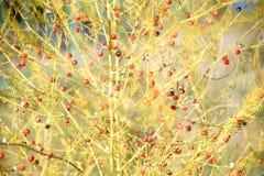 Pianta rossa dell'asparago delle bacche Fotografie Stock