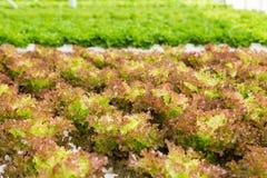 Pianta rossa dell'insalata della lattuga di foglia nel sistema idroponico Fotografie Stock Libere da Diritti