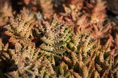 Pianta rossa di catus, macro succulente rossa della pianta, Immagine Stock