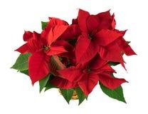 Pianta rossa di natale della stella di Natale su fondo bianco Fotografia Stock Libera da Diritti