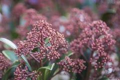 Pianta rossa di rosolia di japonica di skimmia Fotografia Stock