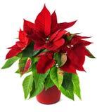 Pianta rossa e verde della stella di Natale per il Natale isolata su fondo bianco Fotografie Stock Libere da Diritti