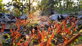 Pianta rossa in foresta sulla sera Fotografie Stock Libere da Diritti