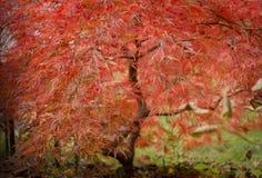 Pianta rossa meravigliosa Fotografia Stock
