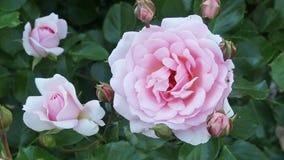 Pianta sbocciante delle rose stock footage
