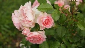 Pianta sbocciante delle rose archivi video