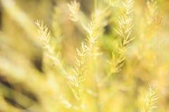Pianta secca dell'asparago Fotografia Stock