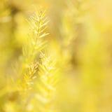 Pianta secca dell'asparago Fotografia Stock Libera da Diritti