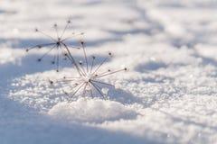Pianta secca su una neve Immagine Stock