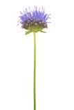 Pianta selvatica con il fiore blu dai piccoli petali fotografia stock libera da diritti