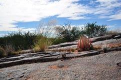 Pianta selvatica dell'aloe nel paesaggio africano roccioso Fotografie Stock