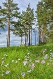 Pianta selvatica della Siberia, alpinus alpino L dell'aster dell'aster Immagini Stock Libere da Diritti