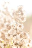 Pianta selvatica, erbaccia, erba, con i semi nel campo incolto fotografia stock
