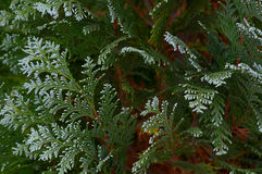 pianta sempreverde Fotografia Stock Libera da Diritti