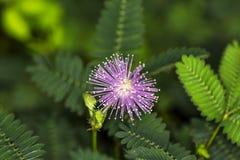 Pianta sensibile, mimosa Fotografia Stock Libera da Diritti