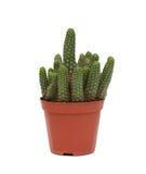 Pianta spinosa del cactus isolata Fotografia Stock