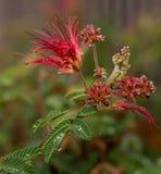 Pianta splendida dello spolveratore della piuma in varie fasi di fioritura Fotografia Stock