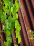 Pianta strisciante verde Immagine Stock