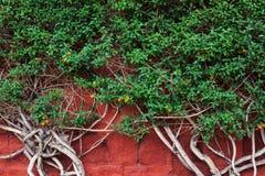 Pianta su una parete rossa Immagine Stock Libera da Diritti