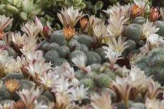 Pianta succulente Immagini Stock Libere da Diritti