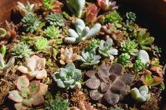 Pianta succulente Fotografie Stock Libere da Diritti
