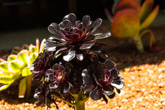 Pianta succulente, California Immagine Stock Libera da Diritti