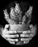 Pianta succulente conservata in vaso in mani preoccupantesi Fotografia Stock Libera da Diritti