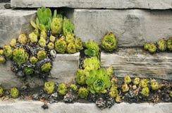 Pianta succulente del fiore fotografia stock