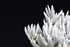Pianta succulente della casa di Haworthii del senecio bianco su fondo nero scuro immagine stock