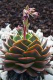 Pianta succulente di Echeveria che cresce nel parco di Tenerife, isole Canarie, Spagna Fotografia Stock