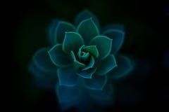 Pianta succulente di Sedum Perrenial Fotografia Stock