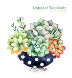 Pianta succulente dipinta a mano dell'acquerello nella fioritura dipinta del cactus e del vaso Fotografia Stock Libera da Diritti