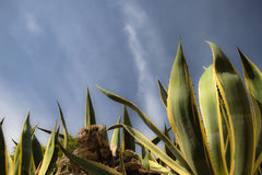 Pianta succulente enorme dell'aloe vera dell'agave che aumenta su in cielo blu Fotografia Stock