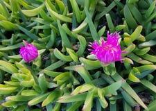 Pianta succulente esotica con i fiori viola Immagine Stock