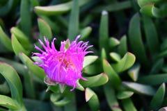 Pianta succulente esotica con un fiore viola Fotografia Stock Libera da Diritti