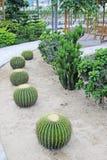 Pianta succulente gentile del cactus Immagine Stock