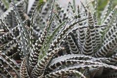 Pianta succulente nel giardino Immagini Stock Libere da Diritti