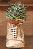 Pianta succulente nel vaso Immagini Stock Libere da Diritti