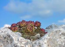 Pianta succulente sulla pietra Fotografie Stock Libere da Diritti