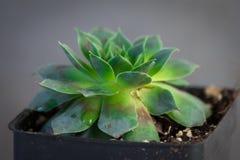 Pianta succulente verde in un contenitore conservato in vaso Fotografia Stock