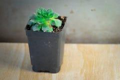 Pianta succulente verde in un contenitore conservato in vaso Immagine Stock